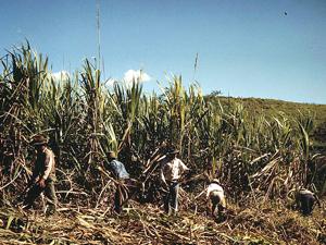 sugar_cane_growers.jpg