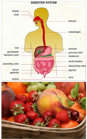 digestive_system.jpg