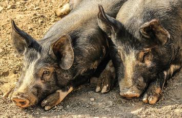 swine_01-29-2019.jpg