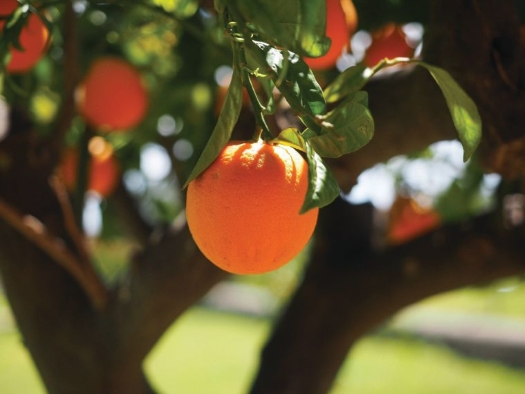 orange-tree.jpg